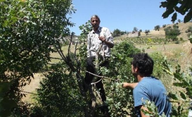 Menengiç Ağaçlarının Meyvesi Antep Fıstığı Olacak