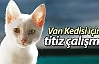 Van Kedisi için titiz çalışma